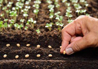 Pupelių auginimas